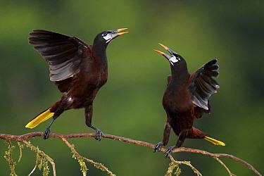 Montezuma oropendola (Psarocolius montezuma) two interacting, Costa Rica.