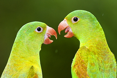 Orange chinned parakeets (Brotogeris jugularis) two looking at each other, Santa Rita, Costa Rica.