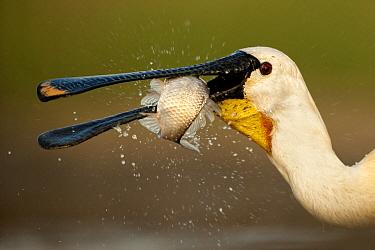 Spoonbilll (Platalea leucorodia) feeding, Lake Csaj, Kiskunsagi National Park, Pusztaszer, Hungary. May.