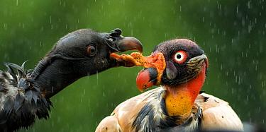 Black vulture (Coragyps atratus) squabbling with King vulture (Sarcoramphus papa) Costa Rica.