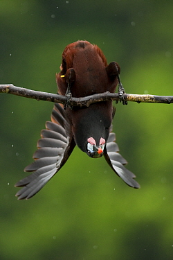 Montezuma oropendola (Psarocolius montezuma) hanging upside down as part of a courtship display. Costa Rica.