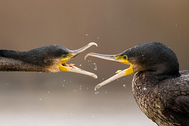 Cormorants (Phalacrocorax carbo) fighting, Lake Csaj, Kiskunsagi National Park, Pusztaszer, Hungary.