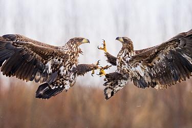 Two White tailed eagles (Haliaeetus albicilla) two juveniles fighting in flight, Lake Csaj, Kiskunsagi National Park, Pusztaszer, Hungary. January.