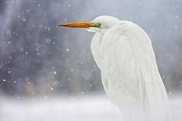 Great egret (Ardea alba) in snow, Lake Csaj, Kiskunsagi National Park, Pusztaszer, Hungary. March.