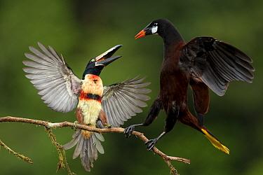 Collared aracari (Pteroglossus torquatus) squabbling with Montezuma oropendola (Psarocolius montezuma) Costa Rica.