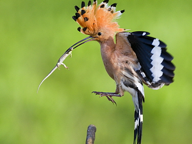 Hoopoe (Upupa epops) landing, with lizard prey, Kiskunsagi National Park, Pusztaszer, Hungary. May.