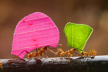 Leaf cutter ant (Atta sp) carrying colourful pieces of plant material, Santa Rita, Costa Rica.