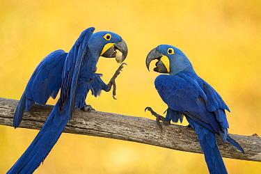 Hyacinth macaws (Anodorhynchus hyacinthinus) interacting, Estrada Parque, Pantanal, Brazil.