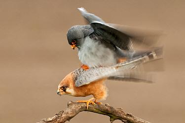 Red footed falcon (Falco vespertinus) pair mating, Lake Csaj, Kiskunsagi National Park, Pusztaszer, Hungary. February.