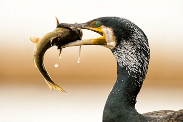 Cormorant (Phalacrocorax carbo) with fish prey, Lake Csaj, Kiskunsagi National Park, Pusztaszer, Hungary. March.