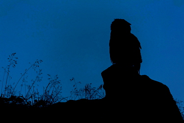 Eurasian Eagle owl (Bubo bubo) silhouetted at dawn, perched on rocky outcrop. Southern Norway. August.