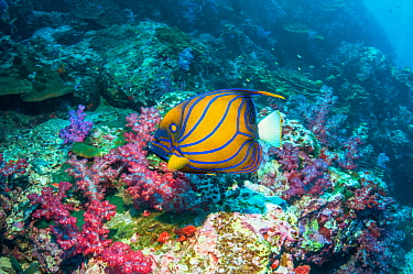 Blue-ringed butterflyfish (Pomacanthus annularis) swimming over soft corals. Andaman Sea, Thailand.