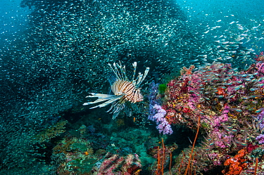 Lionfish (Pterois volitans) hunting Pygmy sweepers (Parapriacanthus ransonetti) Similian Islands, Andaman Sea, Thailand.