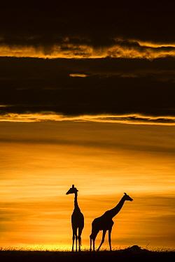 Masai giraffe (Giraffa camelopardalis tippelskirchi) two silhouetted at sunrise, Maasai Mara Game Reserve, Kenya.