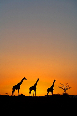 Masai giraffe (Giraffa camelopardalis tippelskirchi) group on horizon at sunrise, Maasai Mara Game Reserve, Kenya
