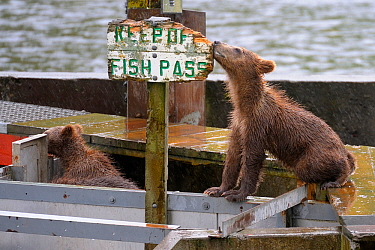 Grizzly bear (Ursus arctos horribilis) cubs on fish pass, investigating sign which says 'Keep Off Fish Pass'  Katmai, Alaska, USA, July.