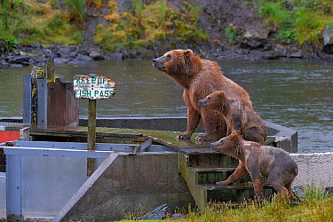 Grizzly bear (Ursus arctos horribillis) mother and cubs on fish pass, with sign saying 'Keep of fish pass' Katmai National Park, Alaska, USA. Small reproduction only.