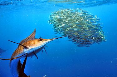 Atlantic sailfish (Istiophorus albicans) hunting Sardines (Sardinella), Yucatan Peninsula, Mexico. Caribbean Sea.