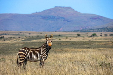 Cape mountain zebra (Equus zebra zebra) portrait in landscape, Mountain Zebra National Park, Eastern Cape, South Africa