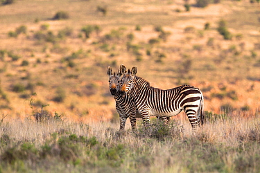 Cape mountain zebra (Equus zebra zebra) two standing in close proximity, Mountain Zebra National Park, Eastern Cape, South Africa