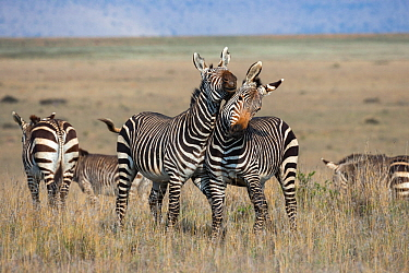 Cape mountain zebra (Equus zebra zebra) stallions wrestling, Mountain Zebra National Park, Eastern Cape, South Africa