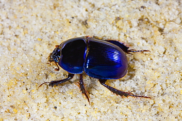 Scarab beetle (Peltotrupes profundus) endemic to Florida. Controlled conditions.