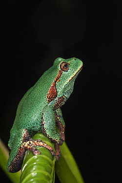 Marsupial frog (Gastrotheca orophylax) calling, captive occurs in Colombia and Ecuador.