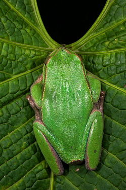Marsupial frog (Gastrotheca orophylax) captive, occurs in Colombia and Ecuador. Endangered species.