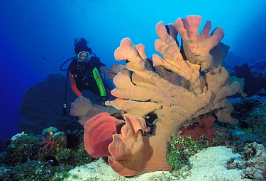 Scuba diver with large sponge, Great Barrier Reef, Australia.
