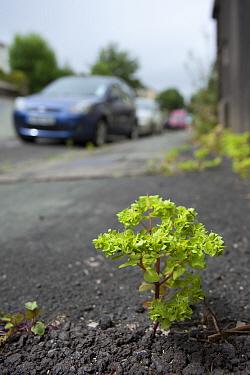 Petty spurge (Euphorbia peplus) growing through tarmac, Bristol, UK, January.