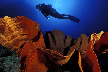 Scuba diver above sponge, Light house Bomme, Great Barrier Reef, Australia.