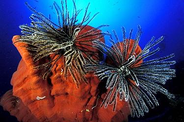 Featherstars (Crinoidea) on sponge, Great Barrier Reef, Australia,