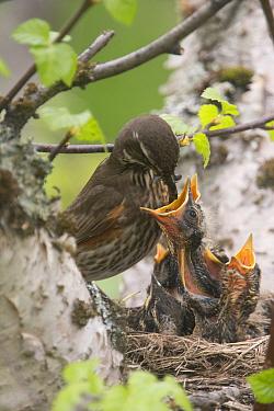 Redwing (Turdus iliacus) feeding nestlings, Iceland, June.