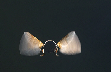 Hoverfly in flight, backlight, Norway, September.