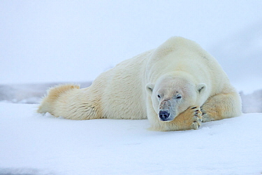 Polar Bear (Ursus maritimus) sleeping in snowstorm. Svalbard, Norway. July.