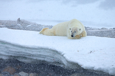 Polar Bear (Ursus maritimus) in snowstorm, Svalbard, Norway. July.