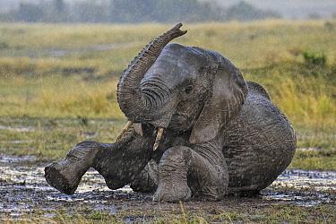 African Elephant (Loxodonta africana) in rain, wallowing in mud. Maasai Mara, Kenya, Africa. September.