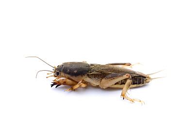 Southern mole cricket (Scapteriscus borellii) Sapelo Island, Georgia, USA, May.
