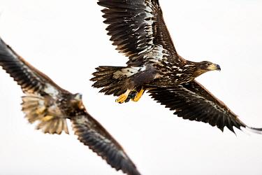 White tailed eagles (Haliaeetus albicilla) juveniles in flight, Lake Csaj, Kiskunsagi National Park, Hungary. January.