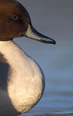 Long-tailed duck (Anas acuta) profile portrait,  stensjvannet Lake, Oslo, Norway December