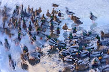 Mallard ducks (Anas platyrhynchos) in open part of frozen lake, stensjvannet Lake, Oslo, Norway December