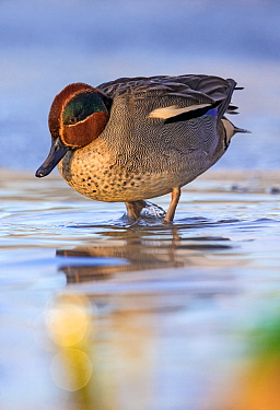 Teal (Anas crecca) on ice in winter, Lake stensjvannet,  Oslo, Norway December