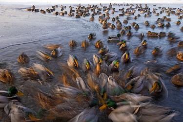Mallard ducks (Anas platyrhynchos) blurred motion in icy waters in winter, Lake stensjvannet, Oslo, Norway December