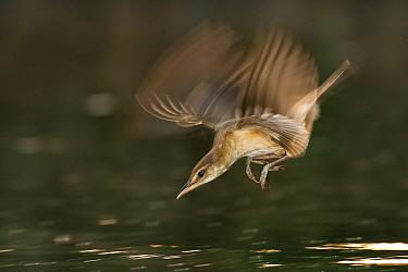 Great reed warbler (Acrocephalus arundinaceus) taking fish from water, Hungary, June.