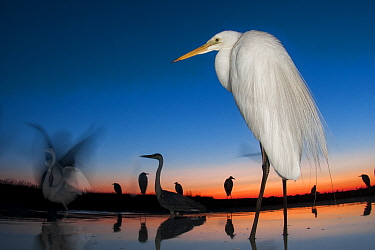 Great egret (Ardea alba) at twilight, Lake Csaj, Kiskunsagi National Park, Hungary. July.
