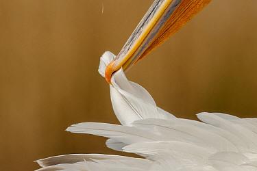 Close up of Dalmatian pelican (Pelecanus crispus) preening, Danube Delta, Romania