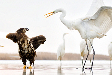 White tailed sea eagle (Haliaeetus albicilla) interacting with Great egret (Ardea alba)  Lake Csaj, Kiskunsagi National Park, Hungary. January.
