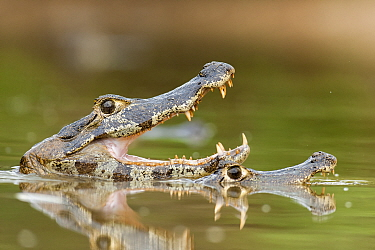 Jacare / Yacare caiman (Caiman crocodilus yacare) with mouth open, Pantanal, Brazil.