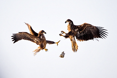 Juvenile White tailed sea eagles (Haliaeetus albicilla) fighting for fish in mid air,  Lake Csaj, Kiskunsagi National Park, Hungary. February.