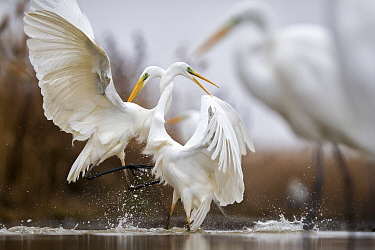 Great egrets (Ardea alba) fighting with necks intertwined,  Lake Csaj, Kiskunsagi National Park, Hungary. January.